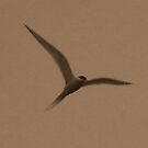 Tern by Elizabeth  Lilja