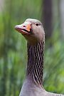Head of a  greylag goose by Sara Sadler