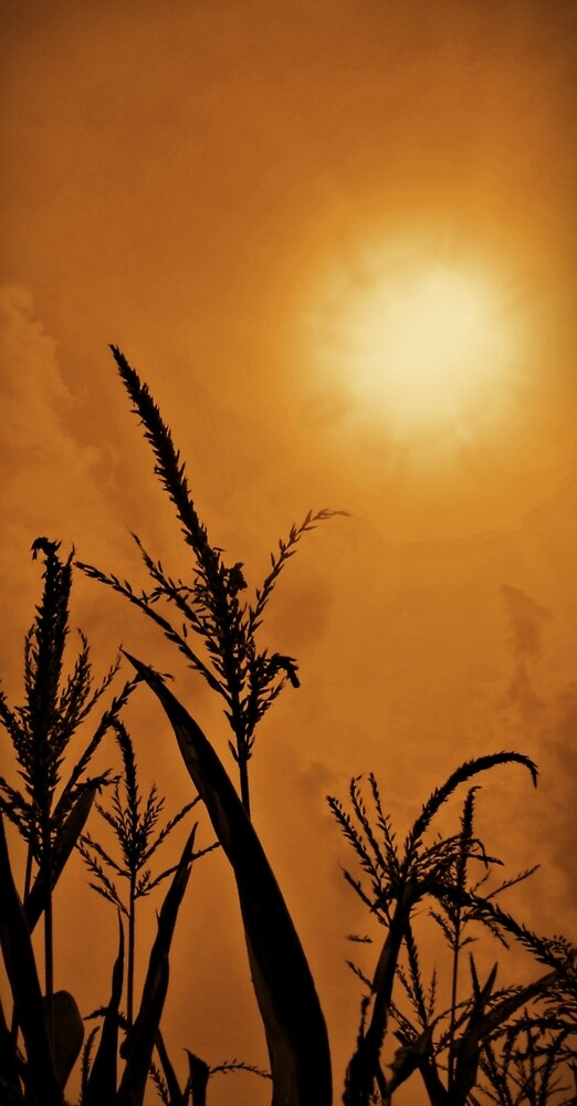 Corn Field Haze  by David Dehner