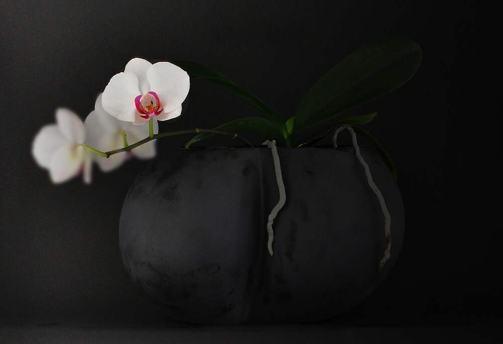 White Orchid in Black Vase by Thomas Barker-Detwiler