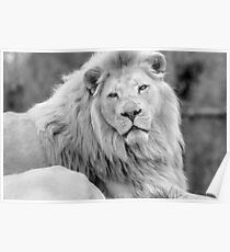 African White Lion (B&W 2) Poster