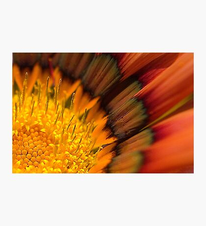 Gazania 1 Photographic Print