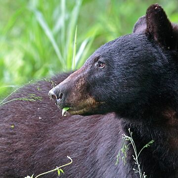 Black Bear Munching on Plants by WorldDesign