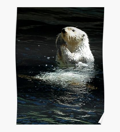 Sea Otter shaking up his dinner Poster