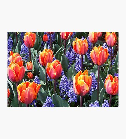 Princess Irene Tulips ~ Skagit Valley Photographic Print