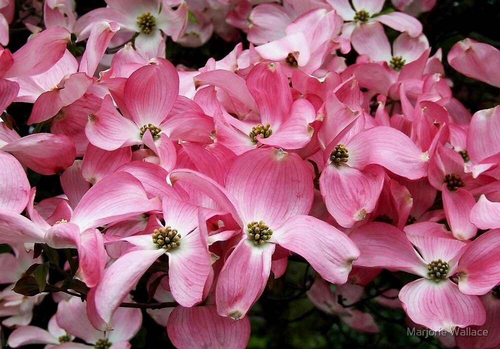 Pink Dogwood by Marjorie Wallace