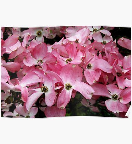 Pink Dogwood Poster