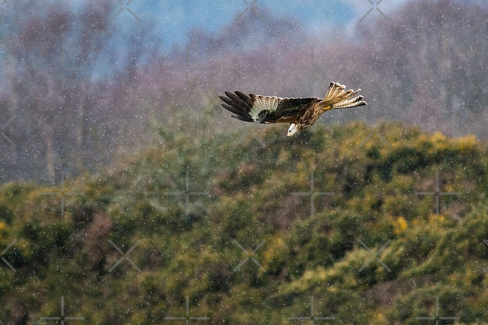 Red Kite in hale storm by Stephen Miller