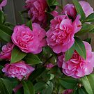Camellias at Starbuck's by Marjorie Wallace