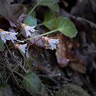 Oconee Bell Wildflower by DHParsons