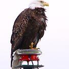 Bald Eagle by Elizabeth  Lilja