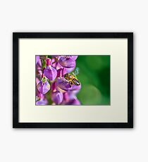 Bee descending on a lupin Framed Print