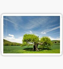 Old Oak Tree in Spring Sticker