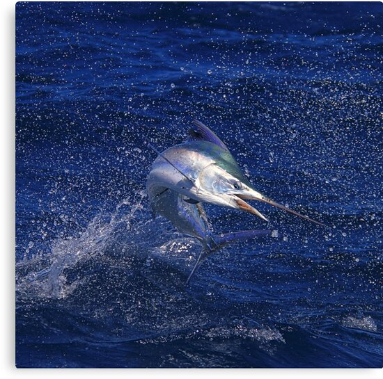 Marlin Canvas or Print - Juvenile Black Marlin by blackmarlinblog