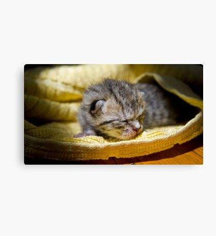 Newborn Kitten Canvas Print