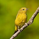 Female Yellow Warbler by Jeff Goulden