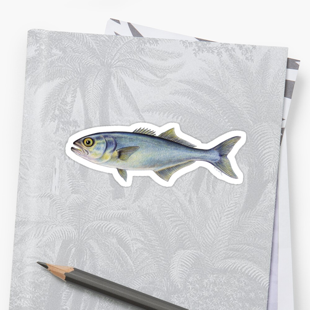 Bluefish (Pomatomus saltatrix) by Tamara Clark