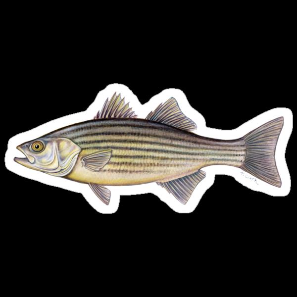 Striped Bass (Morone saxatilis) by Tamara Clark