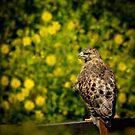 Hawk in sunflowers by LudaNayvelt