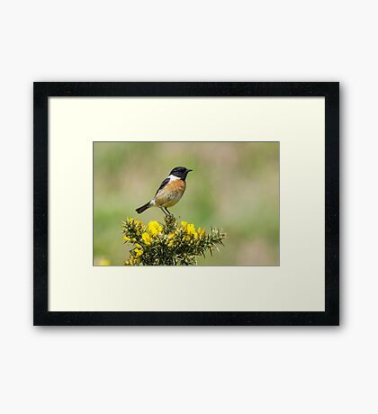 Stonechat on Gorse Framed Print