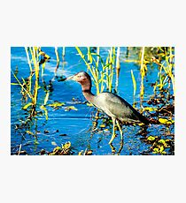 Little Blue Heron Photographic Print