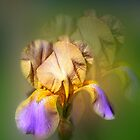 Bearded Iris by jules572