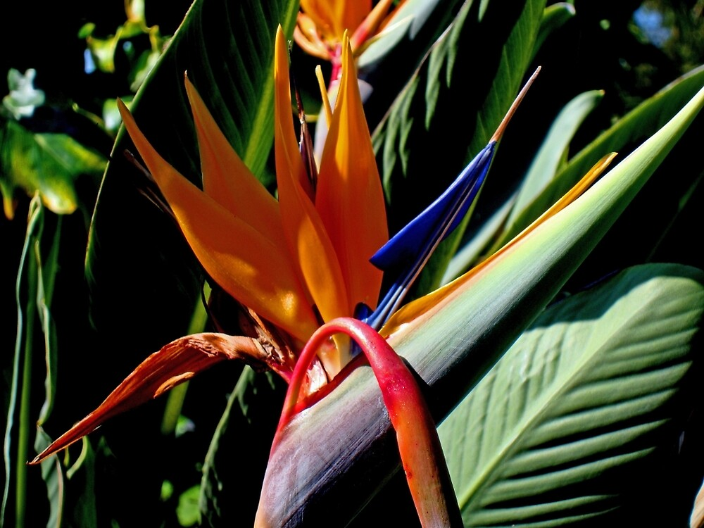 Bird of Paradise by Michiale