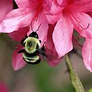 Bee on Pink Azalea by Lori Peters