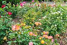 My Rose Garden by DPalmer