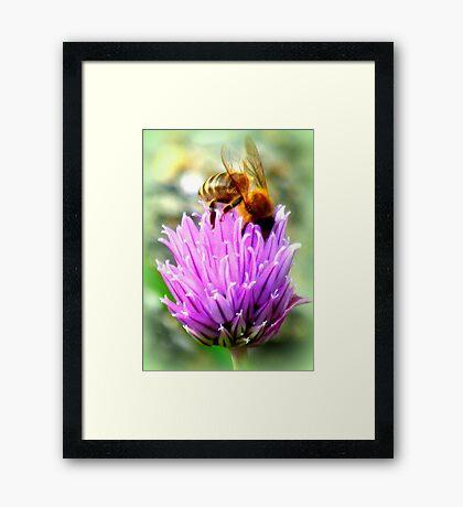 Bee on chive flower Framed Print