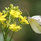 Cabbage Butterfly by Tracy Friesen