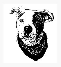 Pitbull with bandana Photographic Print