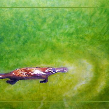 Afloat - Platypus (Ornithorhynchus anatinus) by LauraGrogan