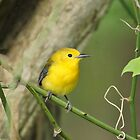 Prothonotary Warbler by Sandy Keeton