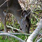 Young deer grazing... by RichImage