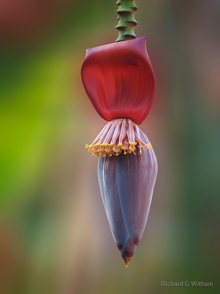 Banana Flower by Richard G Witham
