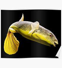 Giant Freshwater Puffer Fish (Tetraodon mbu) Poster