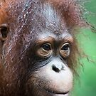 Orangutan in Borneo by Brad Francis