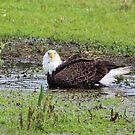 Bald Eagle Bath by Jim Roche