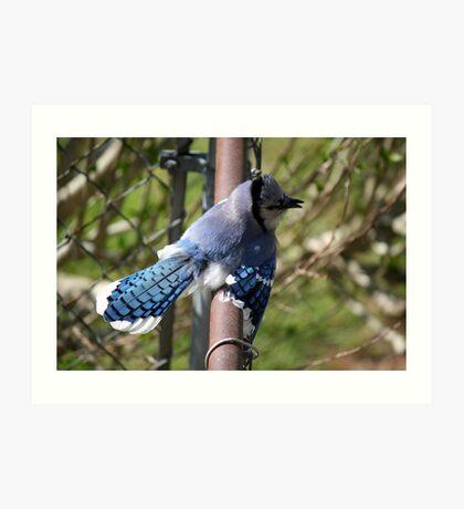 Showing off - Blue Jay Art Print
