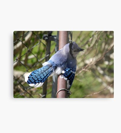 Showing off - Blue Jay Metal Print