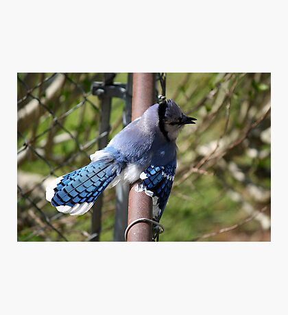 Showing off - Blue Jay Photographic Print
