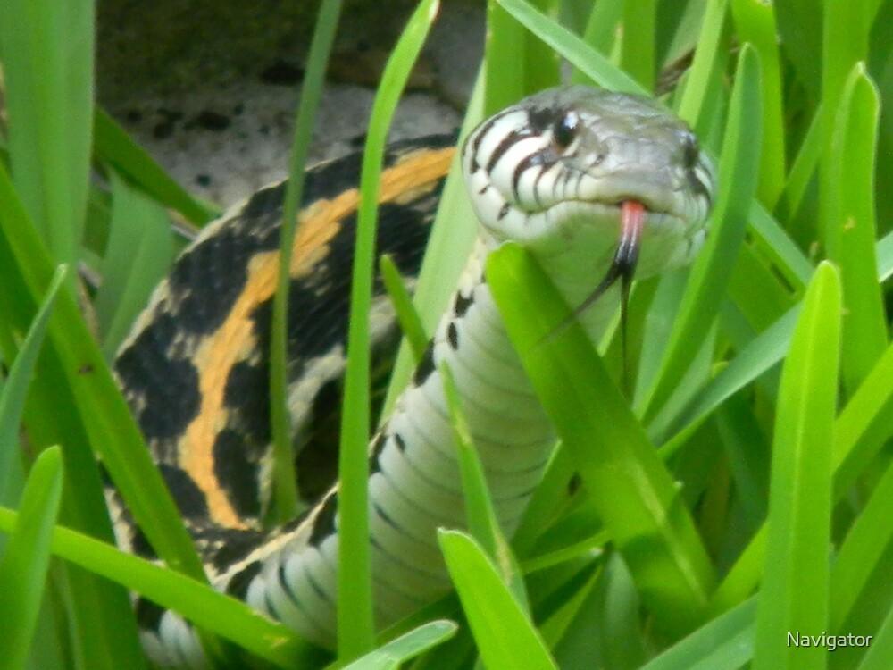 Black-Necked Garter Snake Sniffs the Air by Navigator