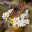 Checkerspot Butterfly on a Yarrow Blossom by Jeff Goulden