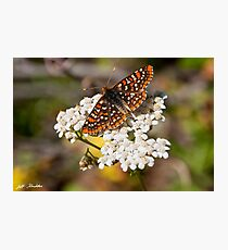 Checkerspot Butterfly on a Yarrow Blossom Photographic Print