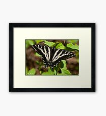 Tiger Swallowtail Butterfly Framed Print