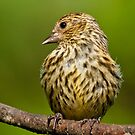 Pine Siskin With Yellow Coloration by Jeff Goulden