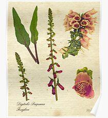 Digitalis purpurea botanical print Poster