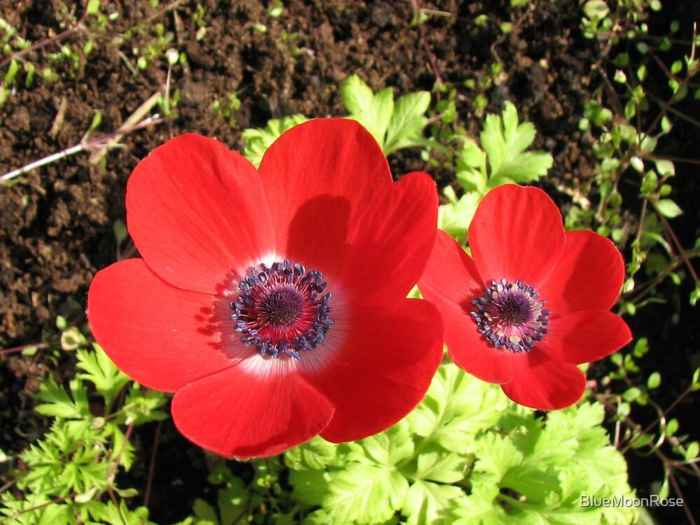 Singing of Summer - Scarlet Anemones by BlueMoonRose