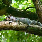Grey Squirrel by Kawka